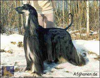 Photo copyright by Zhannel's Afghanhound Kennel (Fin)